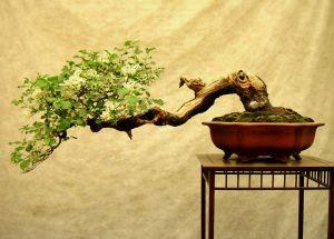 Ako si vypestovať a starať sa o bonsai?