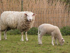 Paplóny z ovčej vlny